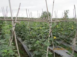 lưới cước làm giàn leo, làm giàn trồng cây dây leo, lưới làm giàn cây leo, lưới giàn cây leo, lưới giàn leo dành cho nhà vườn