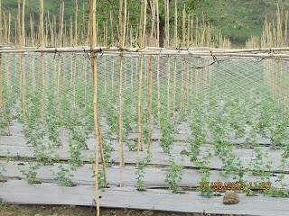 Lưới giàn leo, hướng dẫn cách làm giàn cây leo, kỹ thuật làm giàn chanh leo,  kinh nghiệm trồng cây leo giàn