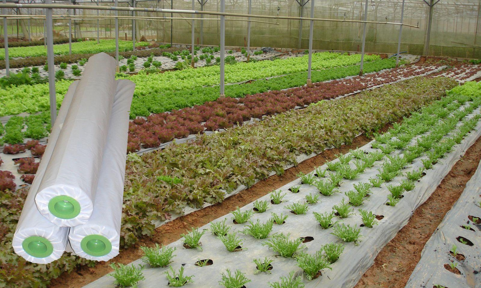 Cách dùng màng phủ nông nghiệp để trồng dưa hấu